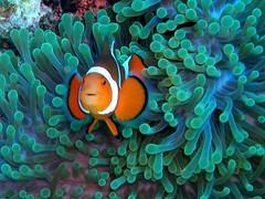 #015 clownfish (カクレクマノミ)