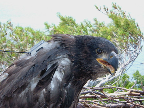 """Regal"" - Bald Eaglet - Davis Island"