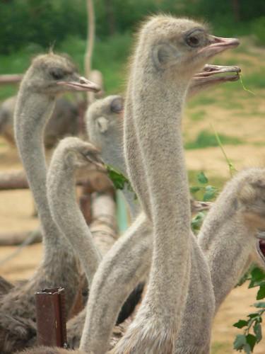 Ostrich necks