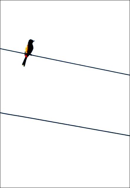 """Cohen's """"Bird on the Wire"""""""