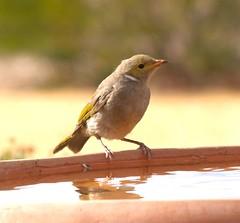 nightingale, animal, sparrow, fauna, emberizidae, beak, bird, wildlife,