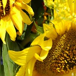 Sunflowers - Prague, Czech Republic