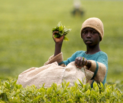 So this is where tea comes from