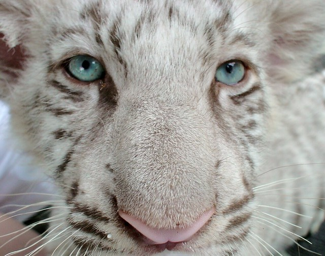 baby white tigers with blue eyes baby white tiger wallpapers