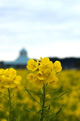 The rape Blossoms