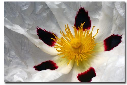 flower, pentagon's Pythagorean