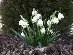 galanthus nivalis(0.0), narcissus(0.0), flower(1.0), galanthus(1.0), plant(1.0), flora(1.0),