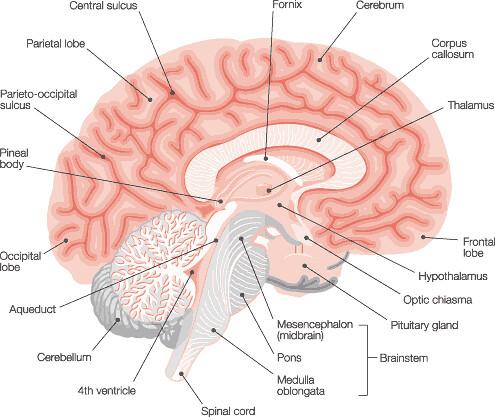 cross section brain diagram intracranial flickrBrain Diagram Intracranial Flickr #1