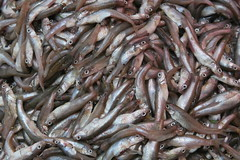 animal, herring, fish, fish, seafood, marine biology, forage fish, oily fish, food, shishamo,
