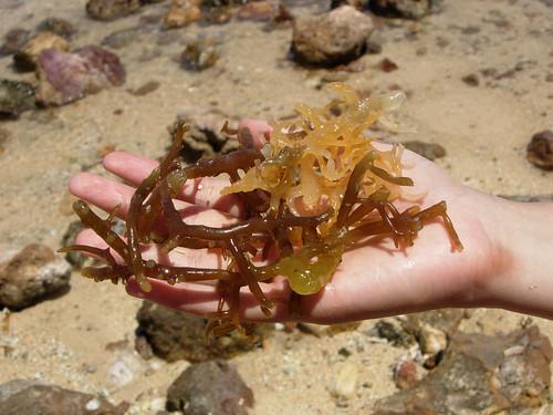 rumput laut