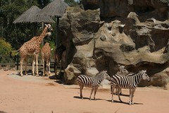 adventure(0.0), savanna(0.0), safari(0.0), wildlife(0.0), animal(1.0), zoo(1.0), zebra(1.0), giraffe(1.0), fauna(1.0), giraffidae(1.0),
