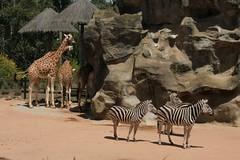 animal, zoo, zebra, giraffe, fauna, giraffidae,
