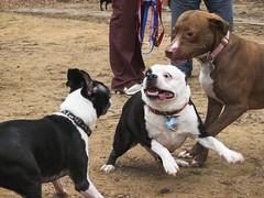 dog breed, animal, dog, old english bulldog, pet, olde english bulldogge, mammal, american pit bull terrier, american bulldog, boston terrier, bulldog, terrier,