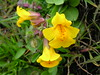 Seep Monkeyflower - Photo (c) J Brew, some rights reserved (CC BY-NC-SA)