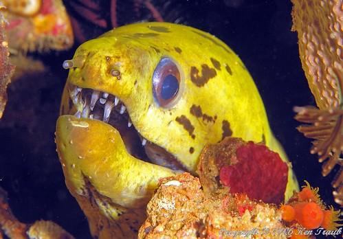 8257 Moray eel