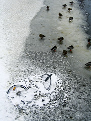 A frozen bicycle and ducks