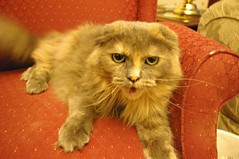 domestic long-haired cat, animal, small to medium-sized cats, pet, cat, carnivoran, whiskers, scottish fold,
