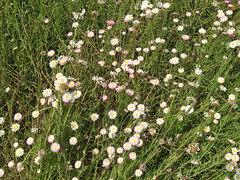 annual plant, prairie, flower, field, plant, marguerite daisy, daisy, herb, wildflower, flora, meadow, daisy,