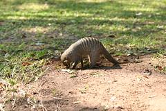 The mongoose in our garden