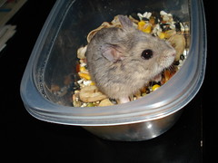 animal(1.0), rat(1.0), rodent(1.0), pet(1.0), mouse(1.0), hamster(1.0), degu(1.0), gerbil(1.0),