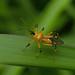 Assassin bug (Cosmolestes picticeps, Harpactorinae), Singapore by Arthur Anker