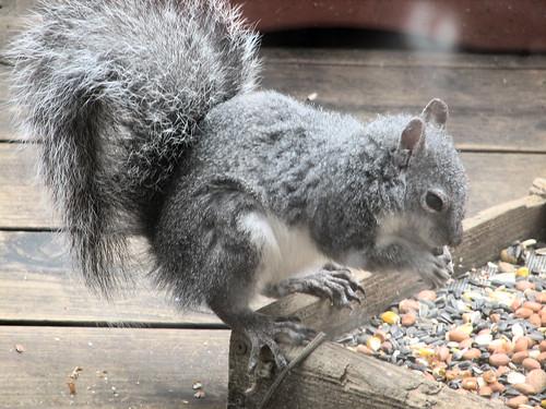squirrel sciurusgriseus westerngray