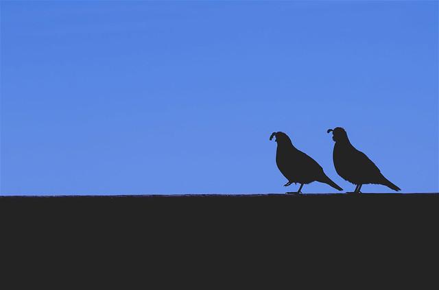 couple of quail
