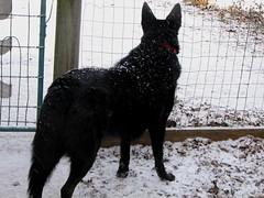 animal, dog, winter, snow, pet, mammal, mudi, black,