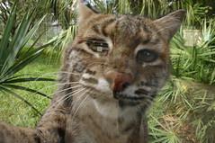 lynx(0.0), pixie-bob(0.0), puma(0.0), rusty-spotted cat(0.0), ocelot(0.0), animal(1.0), small to medium-sized cats(1.0), mammal(1.0), fauna(1.0), cat(1.0), wild cat(1.0), whiskers(1.0), bobcat(1.0), wildlife(1.0),