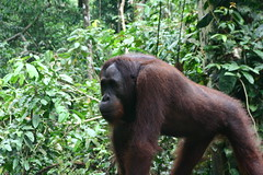 western gorilla(0.0), animal(1.0), rainforest(1.0), orangutan(1.0), mammal(1.0), great ape(1.0), gorilla(1.0), fauna(1.0), jungle(1.0), ape(1.0), wildlife(1.0),