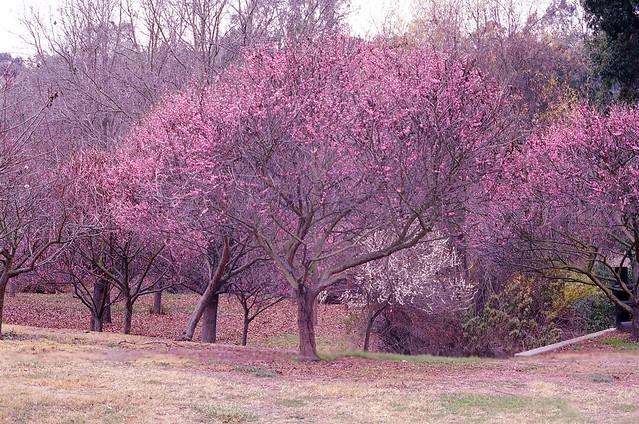 lavender trees flickr photo sharing
