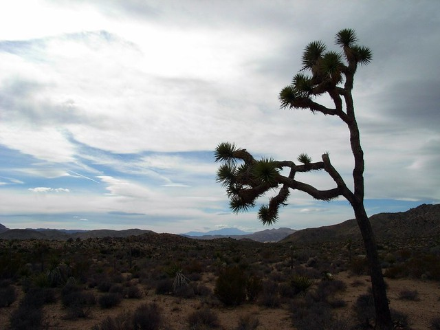 Joshua Tree and Sky