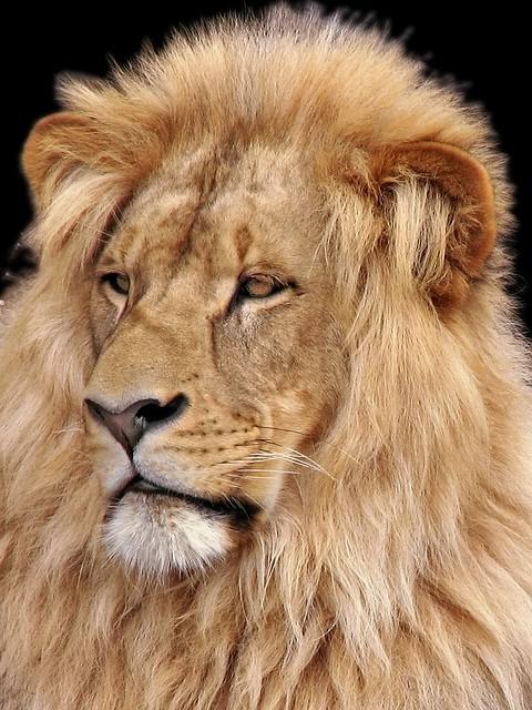 Katanga Lion  LeonKatanga Lion
