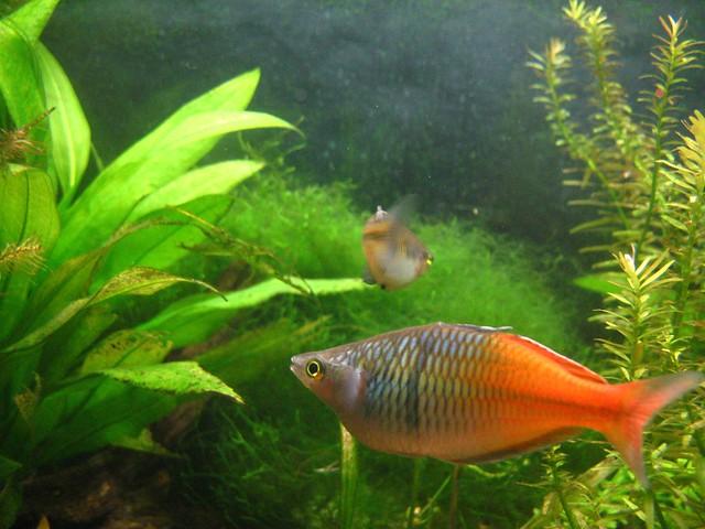Boesemani Rainbow Fish Flickr Photo Sharing