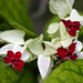 Clerodendron thomsonae by V@n
