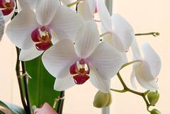 blossom(0.0), cattleya labiata(0.0), laelia(0.0), cattleya trianae(0.0), flower(1.0), orchid family(1.0), macro photography(1.0), phalaenopsis equestris(1.0), flora(1.0), close-up(1.0), pink(1.0), petal(1.0),