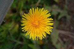 dandelion, flower, yellow, plant, nature, flatweed, wildflower, flora, close-up, petal,