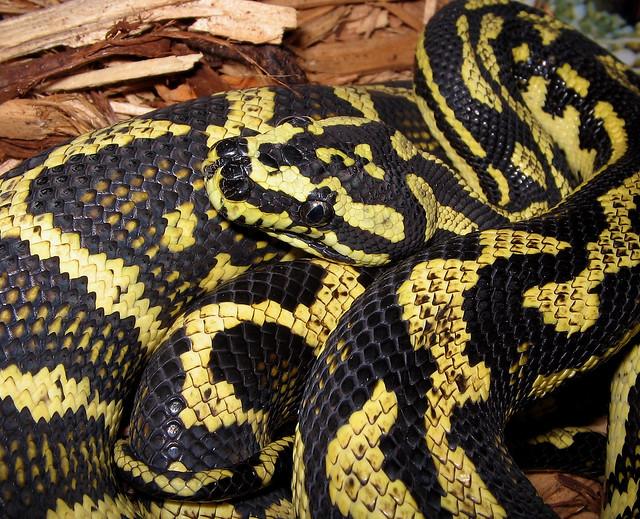 Jungle Carpet Python  Flickr  Photo Sharing!