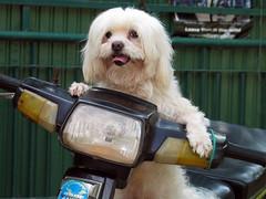 Cambodia - Phnom Penh Moto Dog