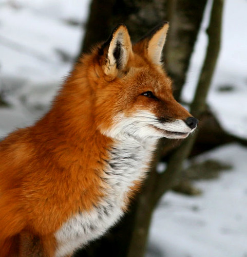 Fennec fox scientific name