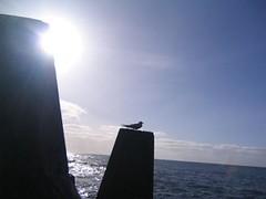 Kingbird at harbour