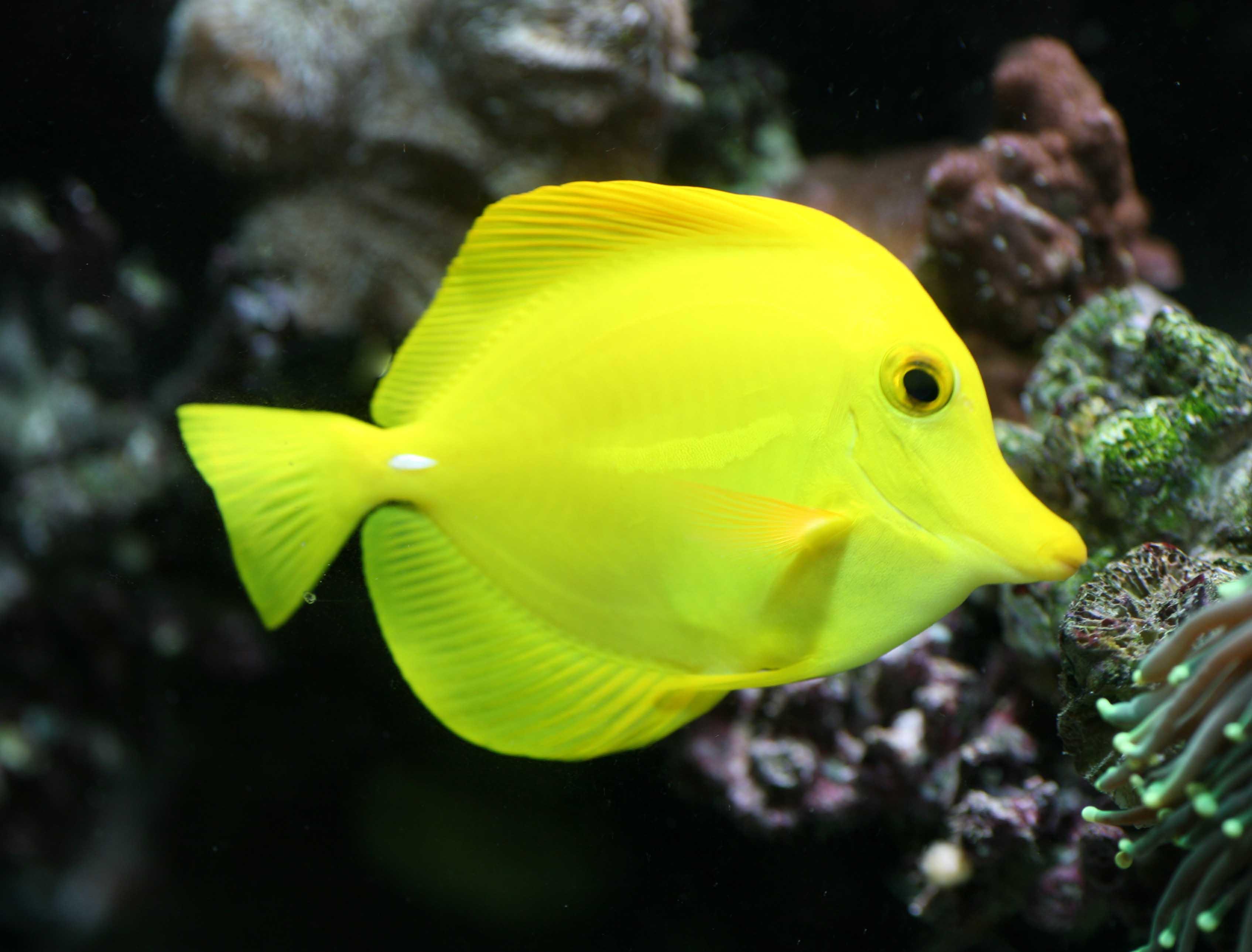 Yellow Tang Fish By Michomor Via Flickr Tang Fish Fish Pet Fish