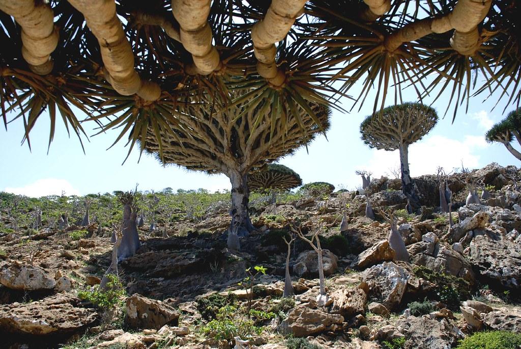 ソコトラ島の竜血樹の風景