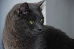 nose, animal, british shorthair, small to medium-sized cats, pet, black cat, fauna, chartreux, bombay, cat, korat, carnivoran, whiskers, black, russian blue, domestic short-haired cat,