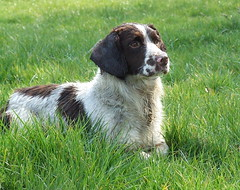 puppy(0.0), brittany(0.0), french spaniel(0.0), dog breed(1.0), animal(1.0), dog(1.0), welsh springer spaniel(1.0), stabyhoun(1.0), small mã¼nsterlã¤nder(1.0), drentse patrijshond(1.0), spaniel(1.0), hunting dog(1.0), english springer spaniel(1.0), carnivoran(1.0),