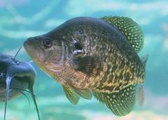 tilapia, animal, fish, organism, marine biology, fauna, underwater,