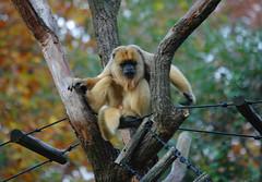 capuchin monkey(0.0), wildlife(0.0), gibbon(1.0), animal(1.0), branch(1.0), monkey(1.0), zoo(1.0), mammal(1.0), fauna(1.0), spider monkey(1.0), old world monkey(1.0), new world monkey(1.0),