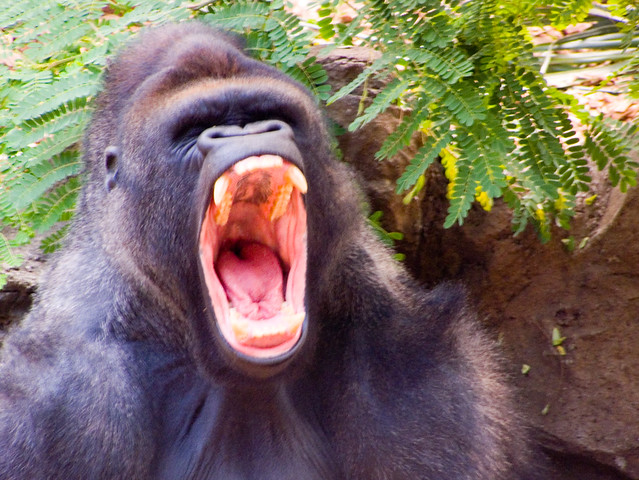 Gorilla yawn | Flickr - Photo Sharing!