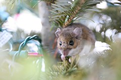 animal, branch, squirrel, rodent, pet, mouse, hamster, fauna, whiskers, gerbil, wildlife,