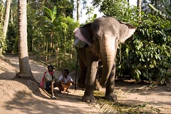adventure(0.0), zoo(0.0), recreation(0.0), outdoor recreation(0.0), safari(0.0), wildlife(0.0), indian elephant(1.0), elephant(1.0), elephants and mammoths(1.0), fauna(1.0), mahout(1.0), jungle(1.0),